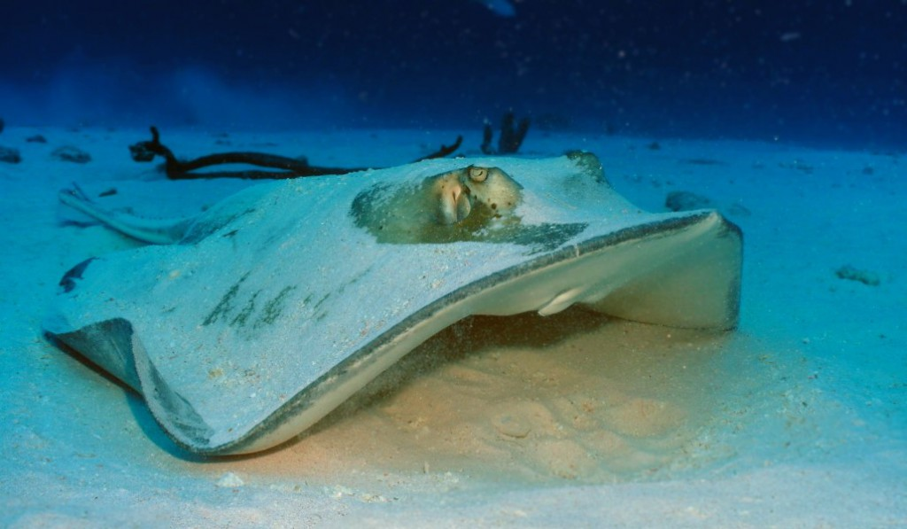 Stingray-at-Baby-Beach-2